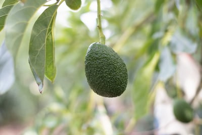 Margie Kern-Marshall – Avocado Tree