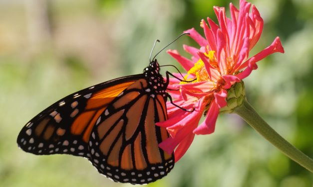Monarch Butterflies and Santa Cruz