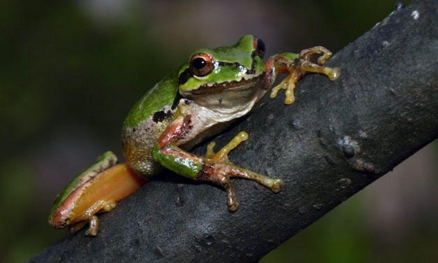 California Red-legged Frogs with Regina Spranger part I