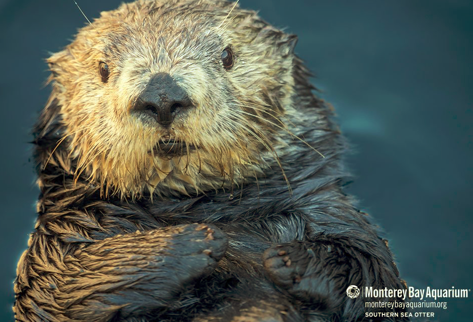 Elkhorn Slough Part 2, Otter Monitoring Project