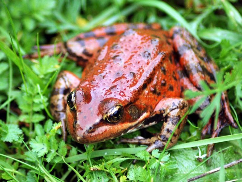 California red-legged frogs with Regina Spranger part 2