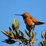Birds in your Backyard III: Hummingbirds