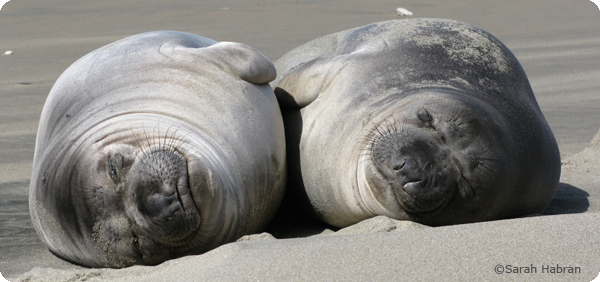 How do elephant seals sleep? Part I