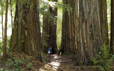 Redwoods and Wildfire: Interview with Sara Barth – Executive Director  Sempervirens Fund