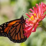 Will California Monarch Butterflies Disappear?
