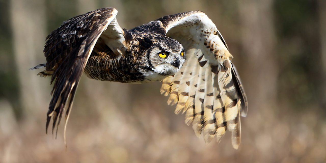 Birds in Your Backyard: Great Horned Owls