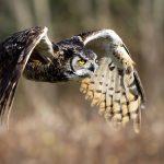 Birds in Your Backyard: Great Horned Owls