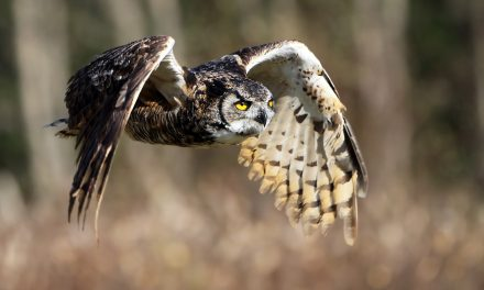 Birds in Your Backyard: Great Horned Owls Part 1
