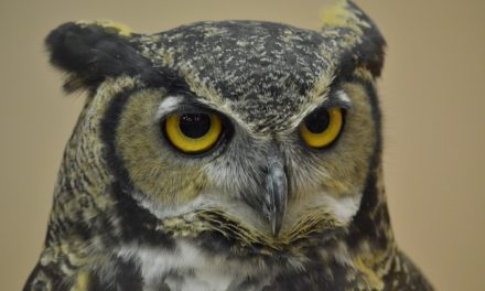 Birds in Your Backyard: Great Horned Owls Part 2