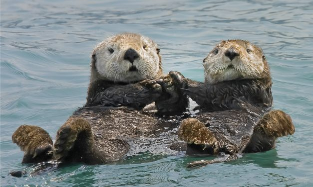Sea Otters Prevent Kelp Deforestation
