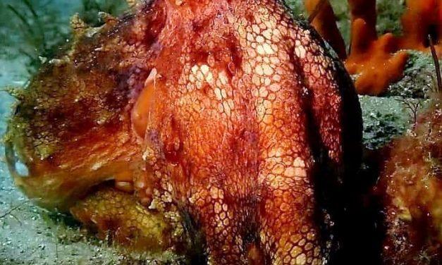 Cephalopod week fun fact #5