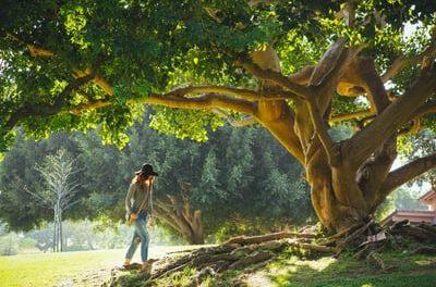 Gilda Zelin – Oak Tree